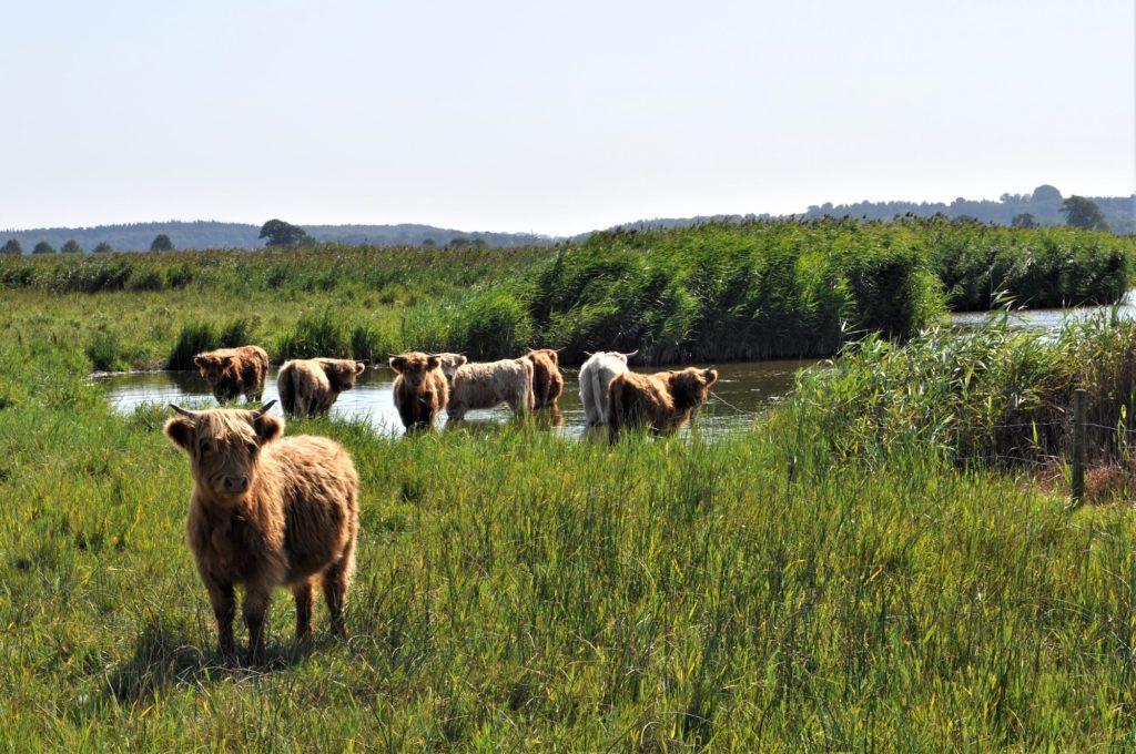 Die Rinder auf den Stiftungswiesen ©Highlanderhof